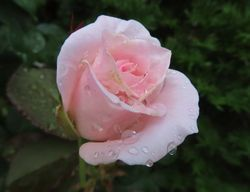 016薔薇