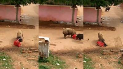 【苦笑】豚って凶暴・・・女性を襲った!