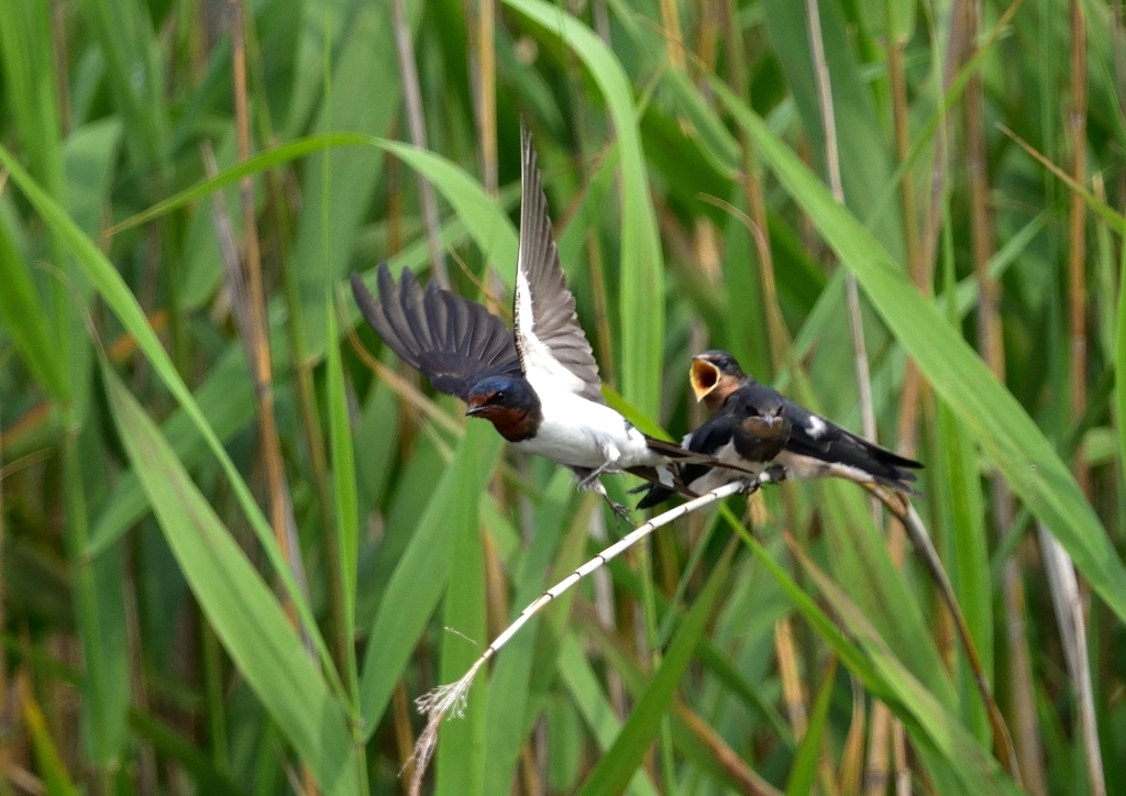ツバメ若鳥