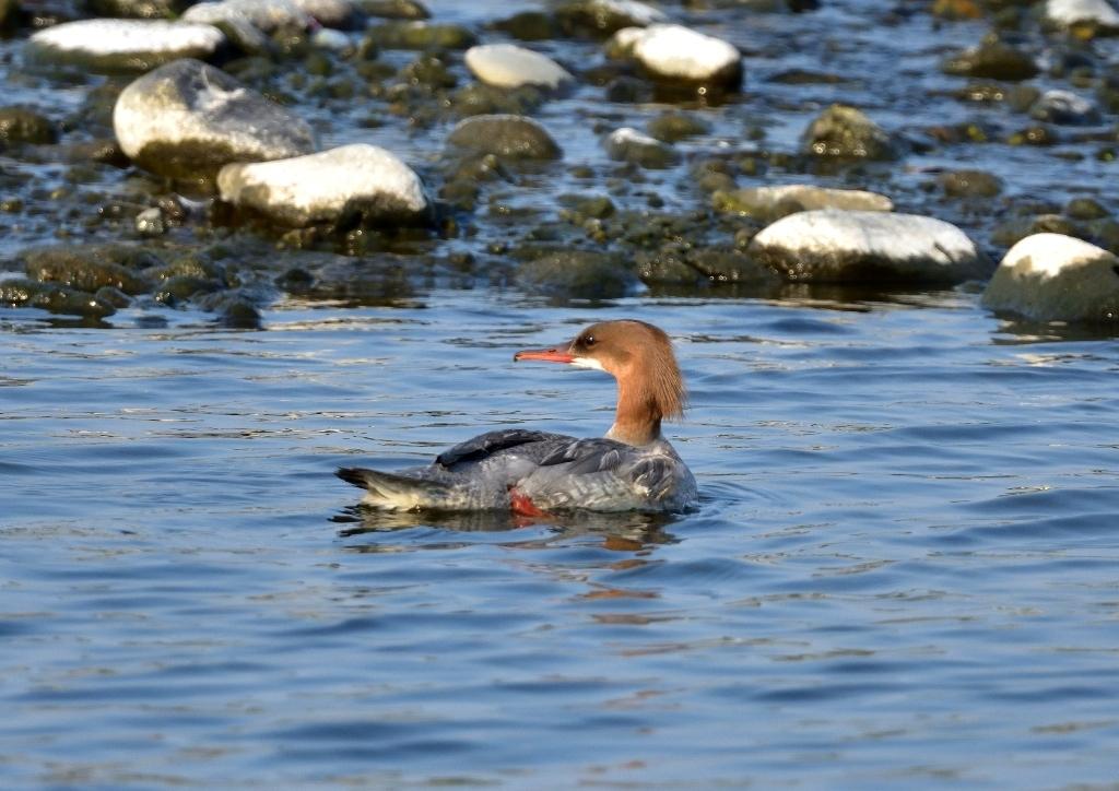 ウミネコ若鳥