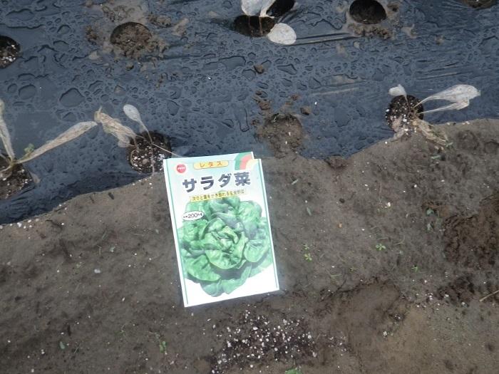 サラダ菜2_19_08_28