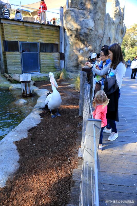 タロンガ動物園 シドニー ペリカン