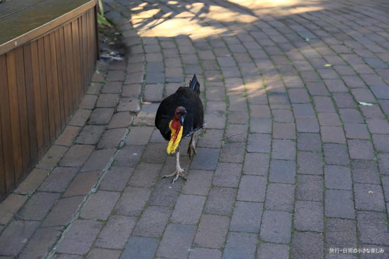 タロンガ動物園 シドニー 野鶏