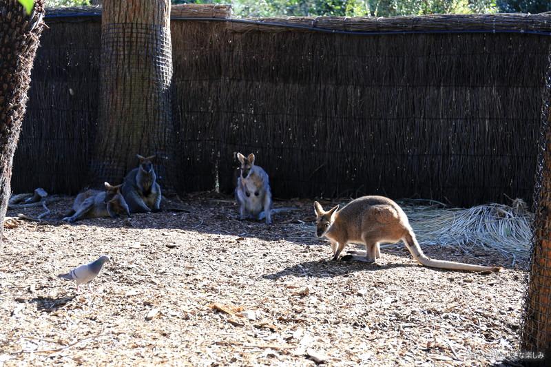 タロンガ動物園 カンガルー