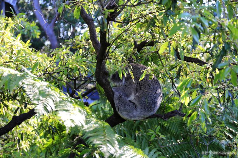 タロンガ動物園 コアラ