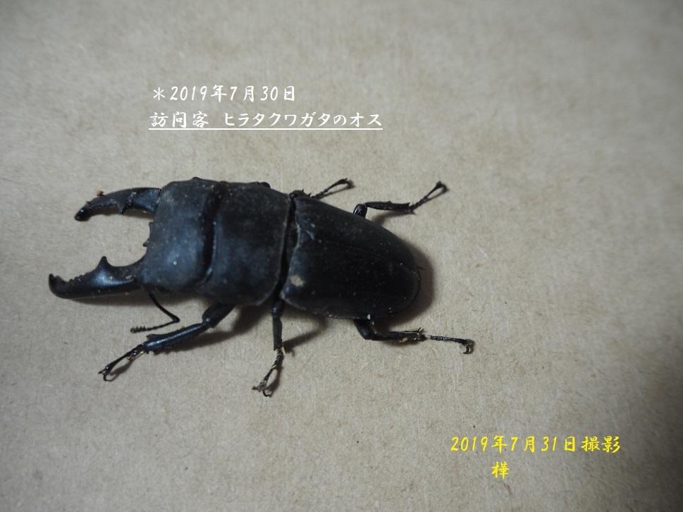 2019年7月31日撮影ヒラタクワガタpe