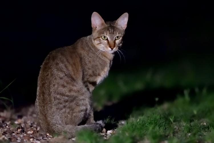 リビアネコ リビアヤマネコ リビヤネコ ヤマネコ African wildcat