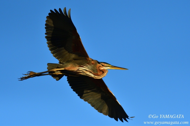 ムラサキサギ Purple Heron Ardea purpurea
