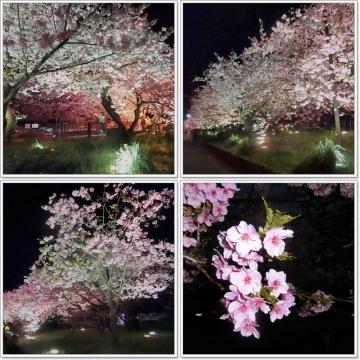 夜桜-800x800