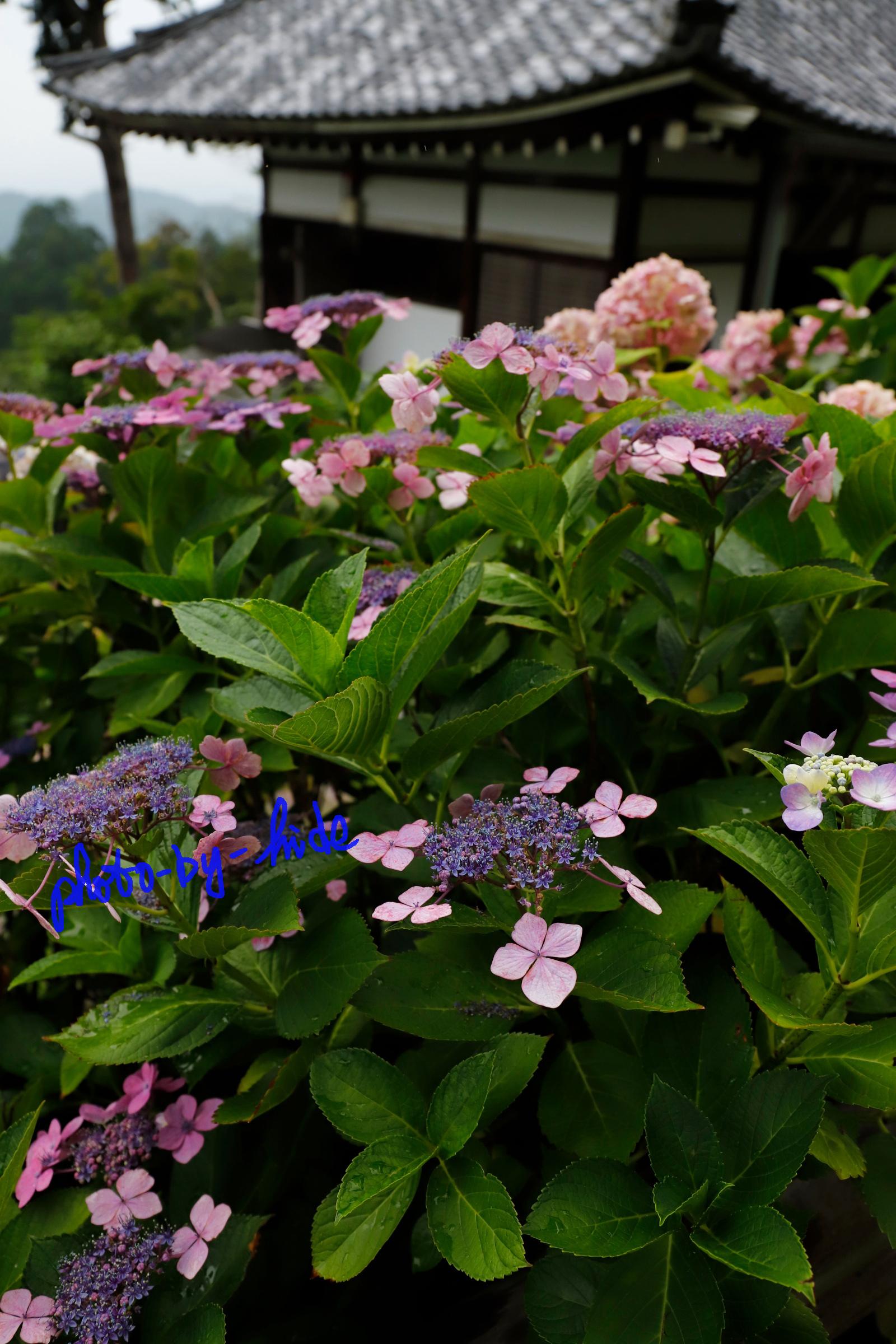 吉峰紫陽花1