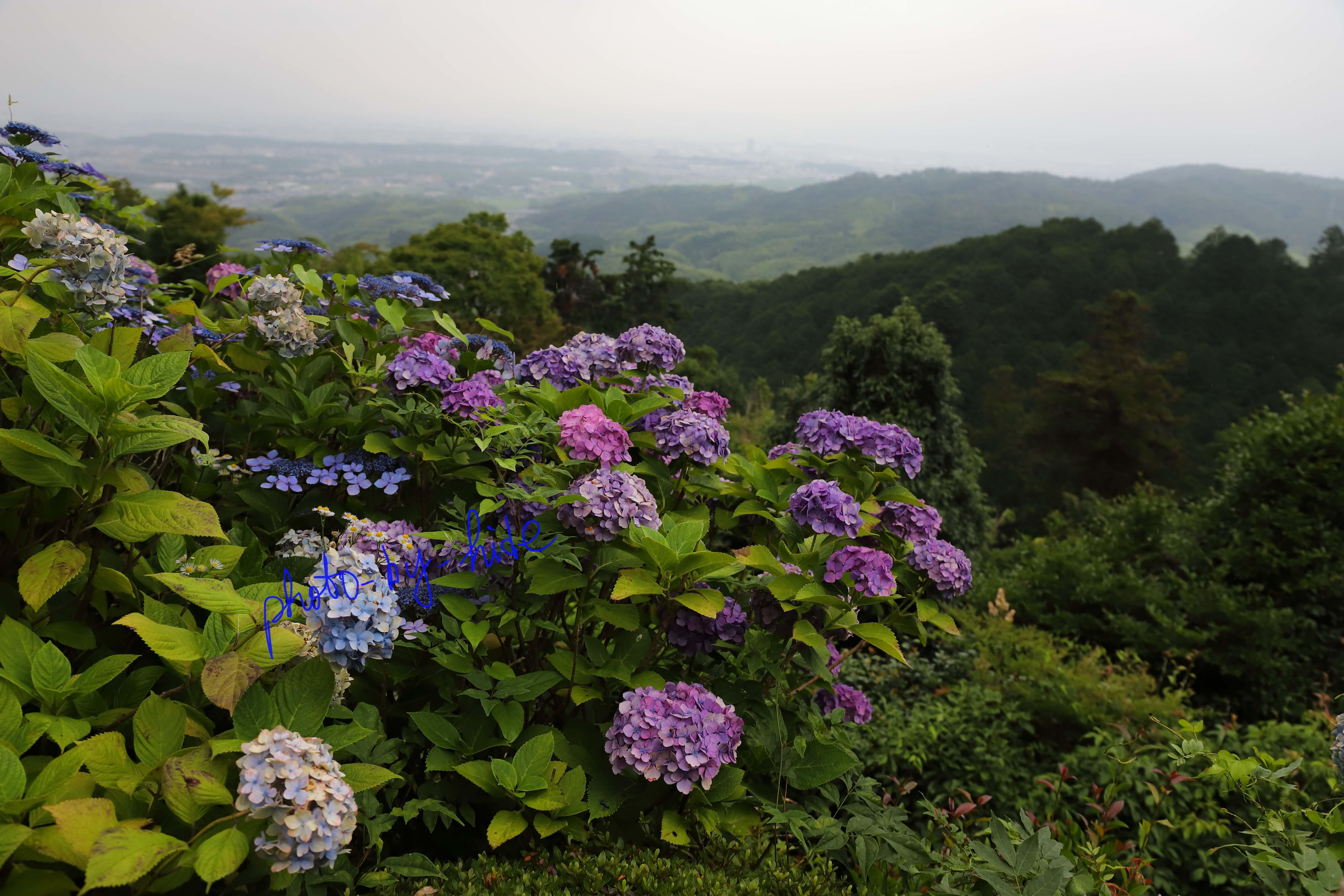 吉峰紫陽花2