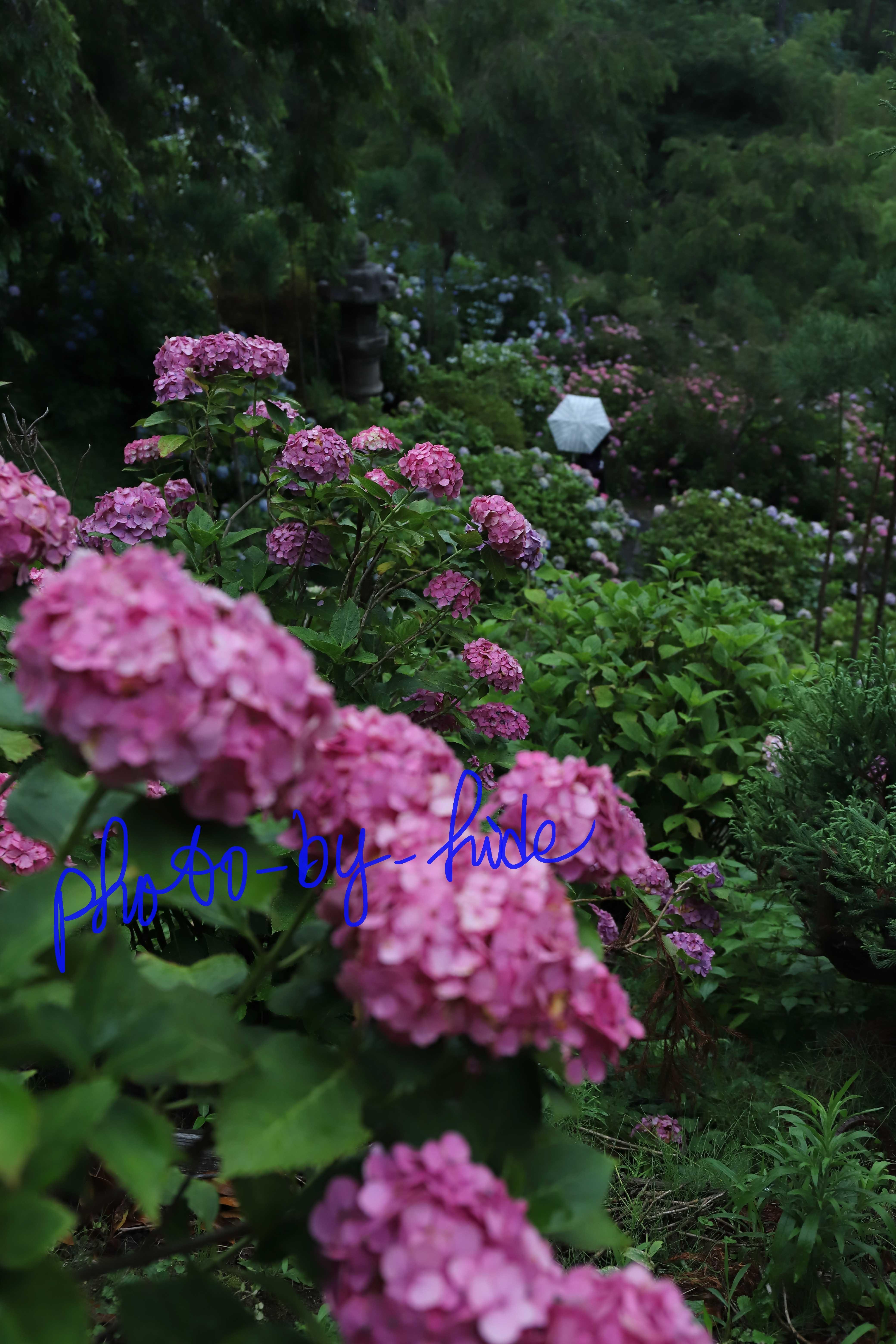 吉峰紫陽花8