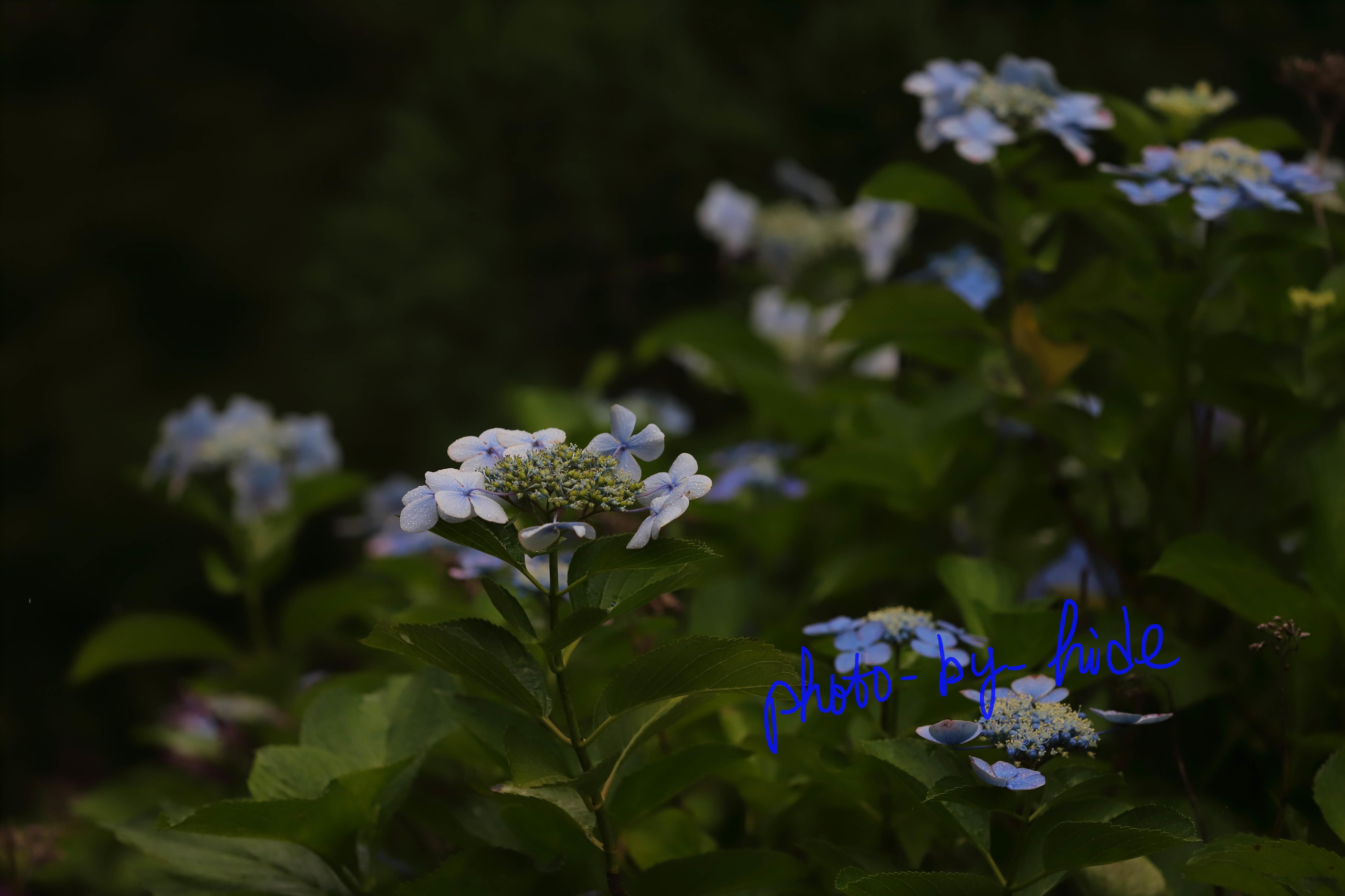 吉峰紫陽花22