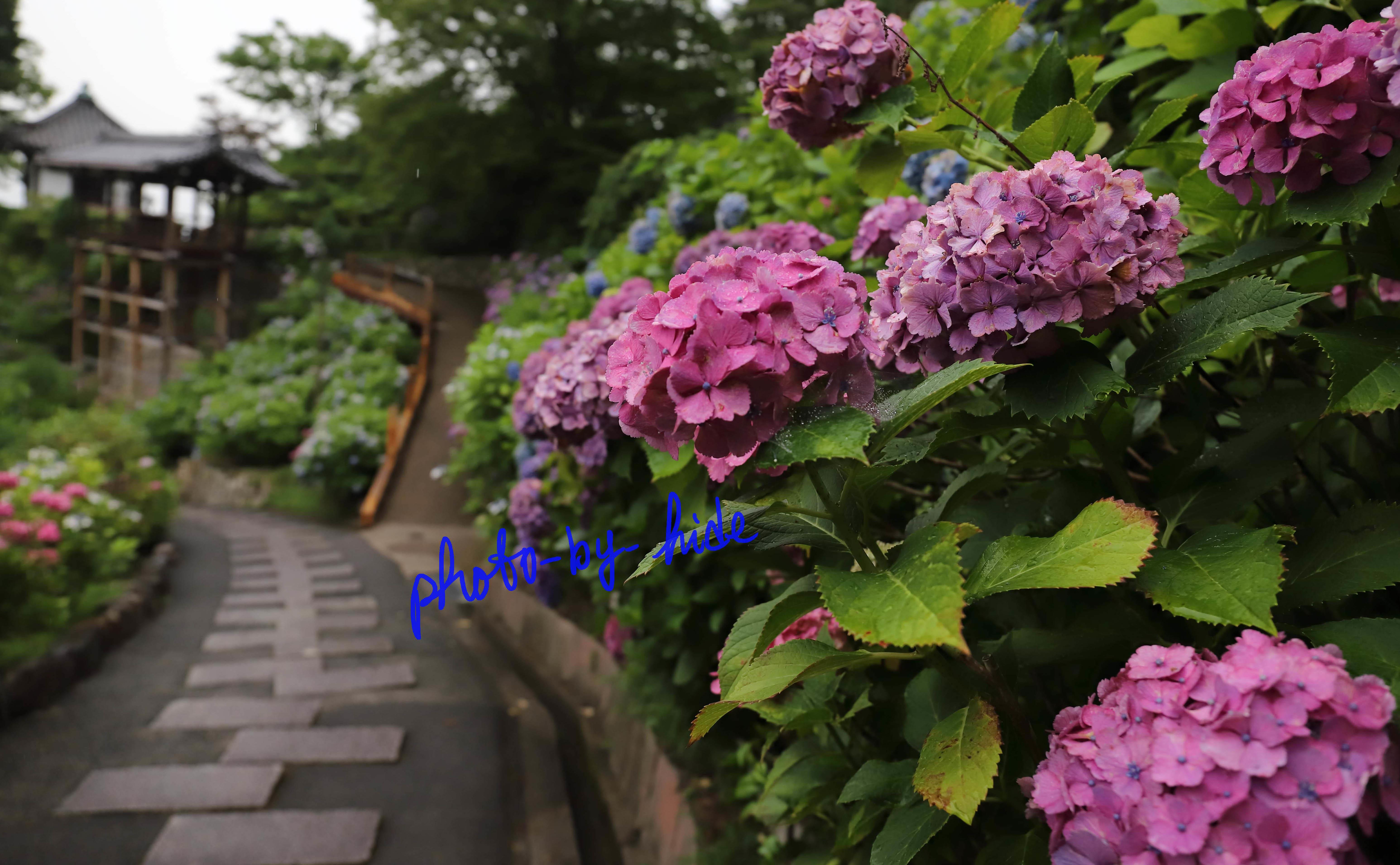 吉峰紫陽花23