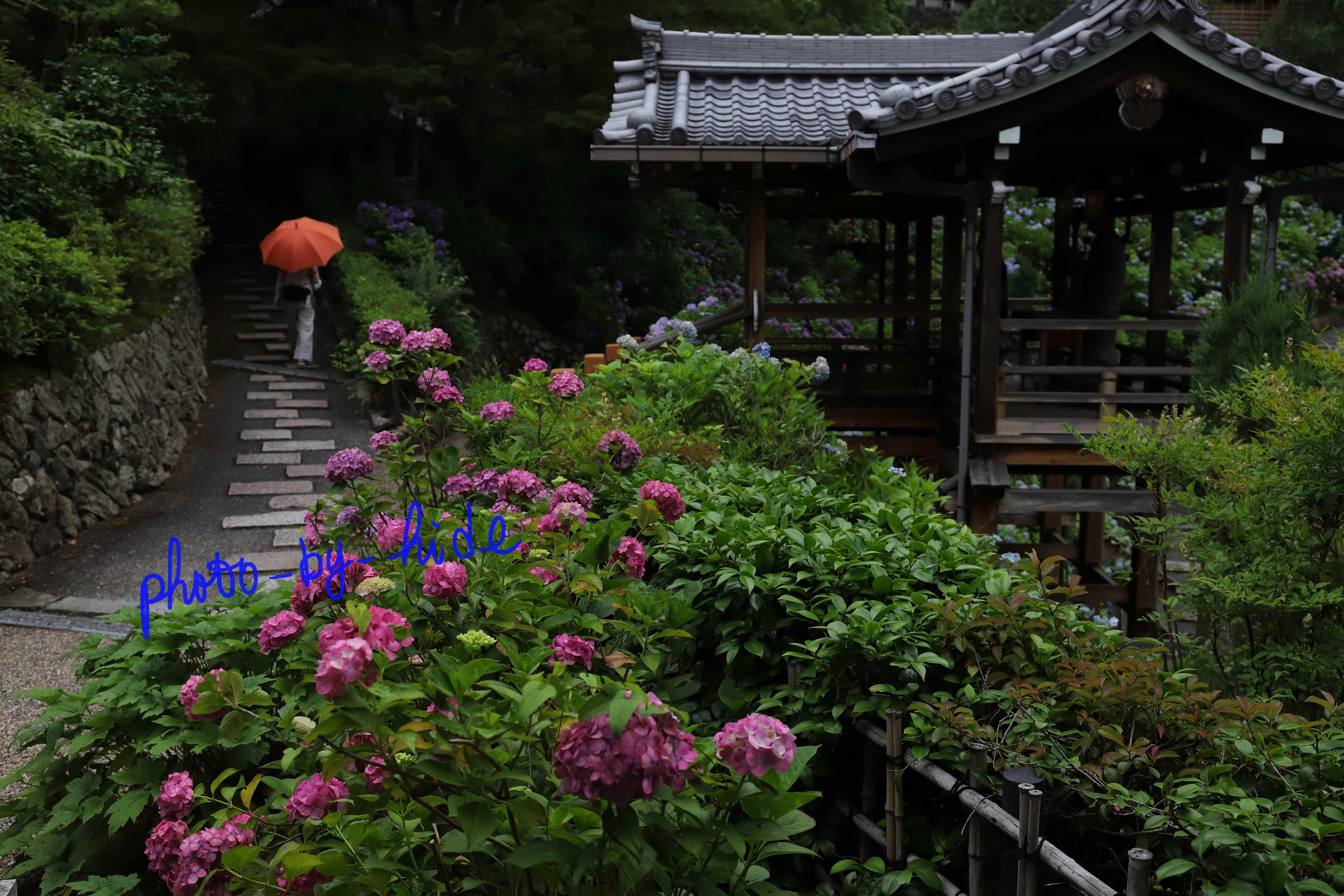 吉峰紫陽花25