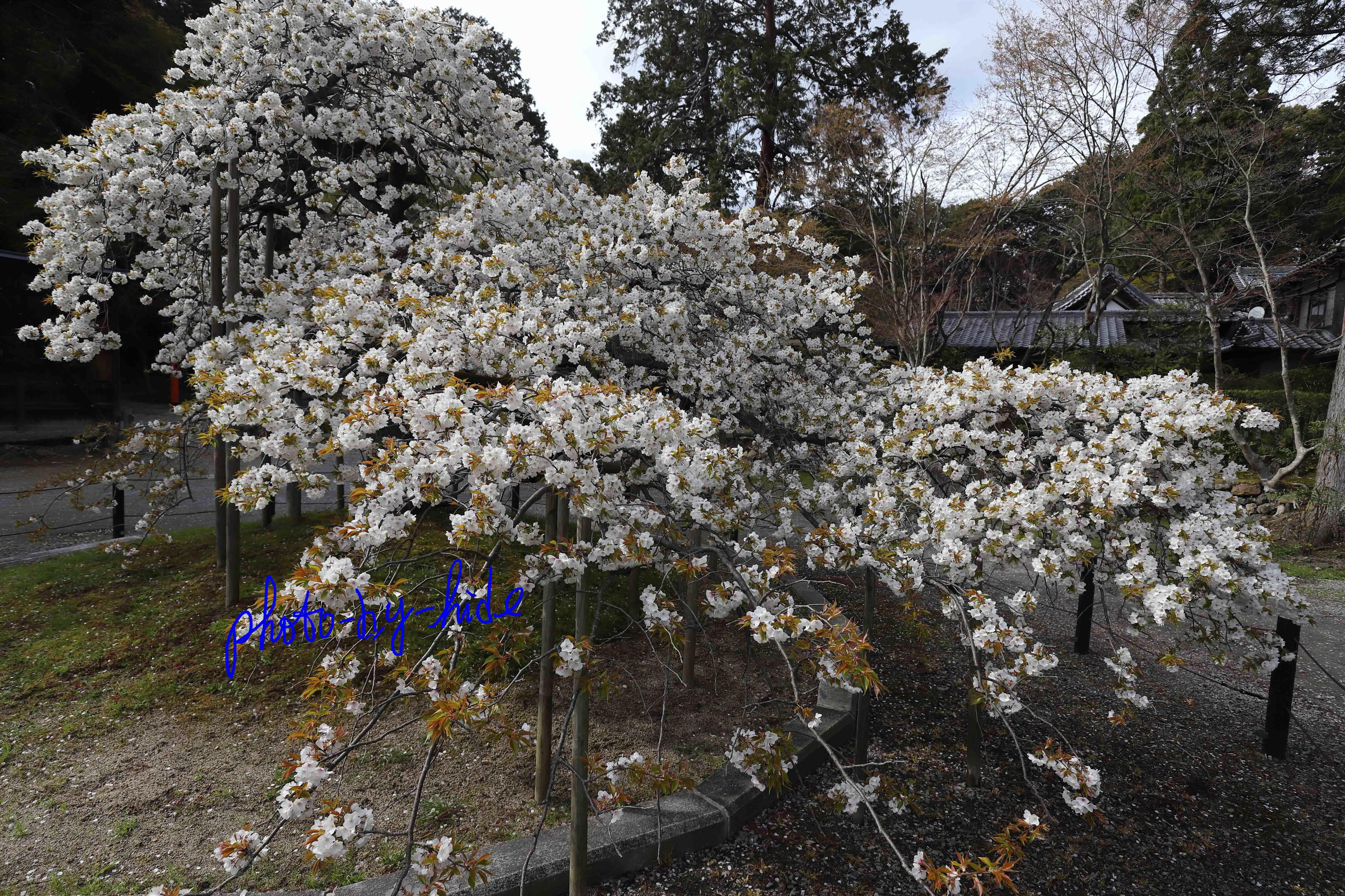 大原野桜1