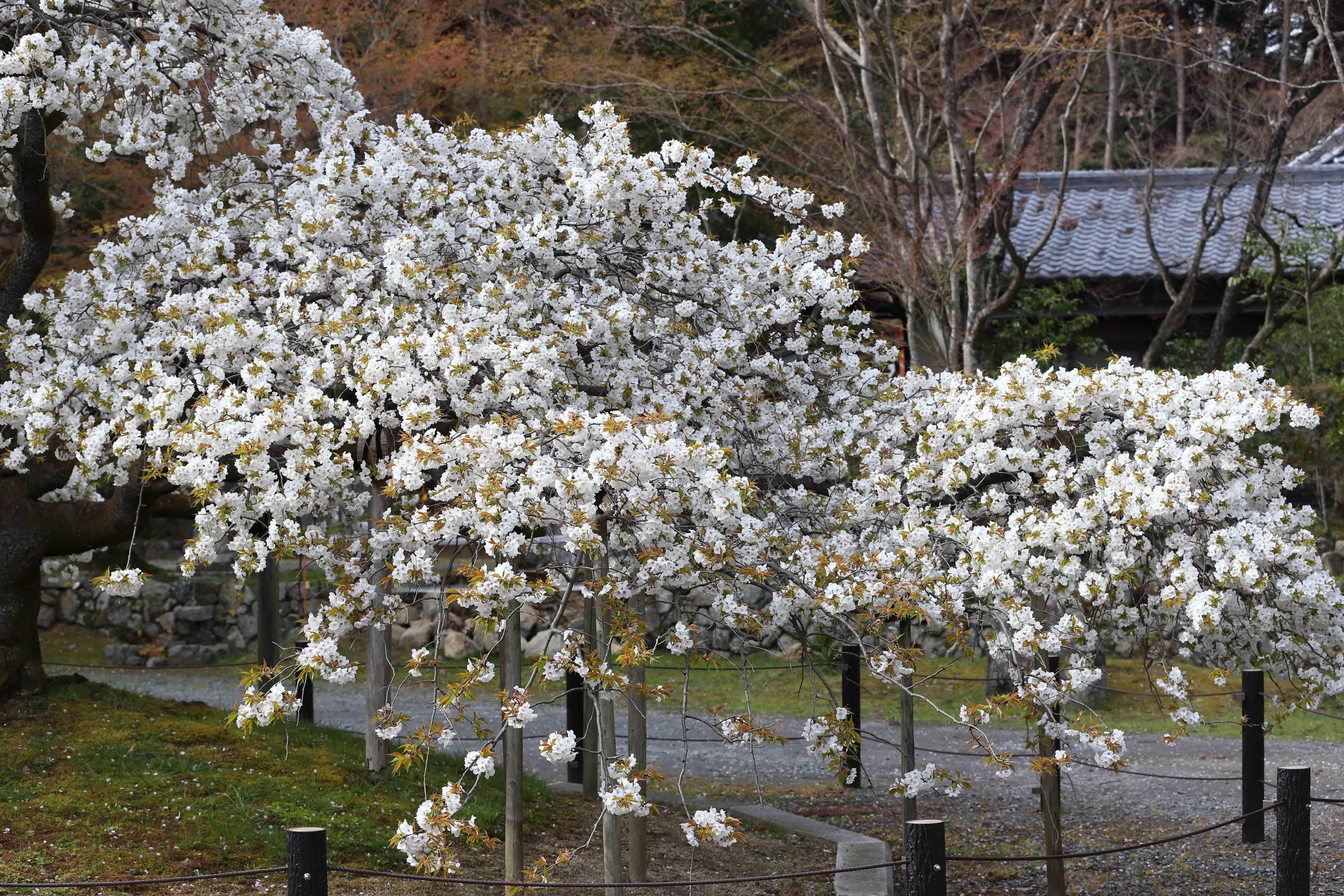 大原野桜3