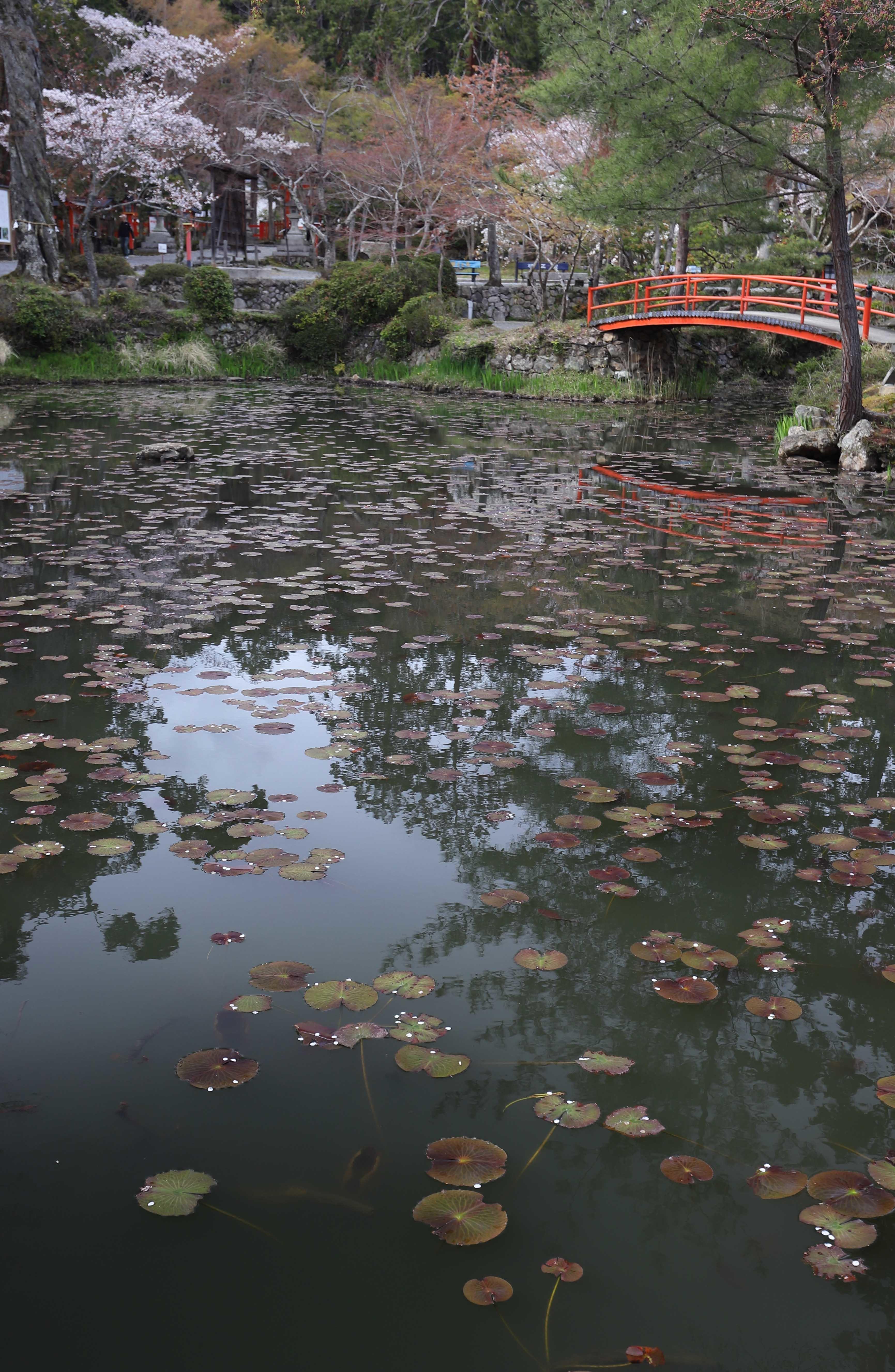 大原野桜4