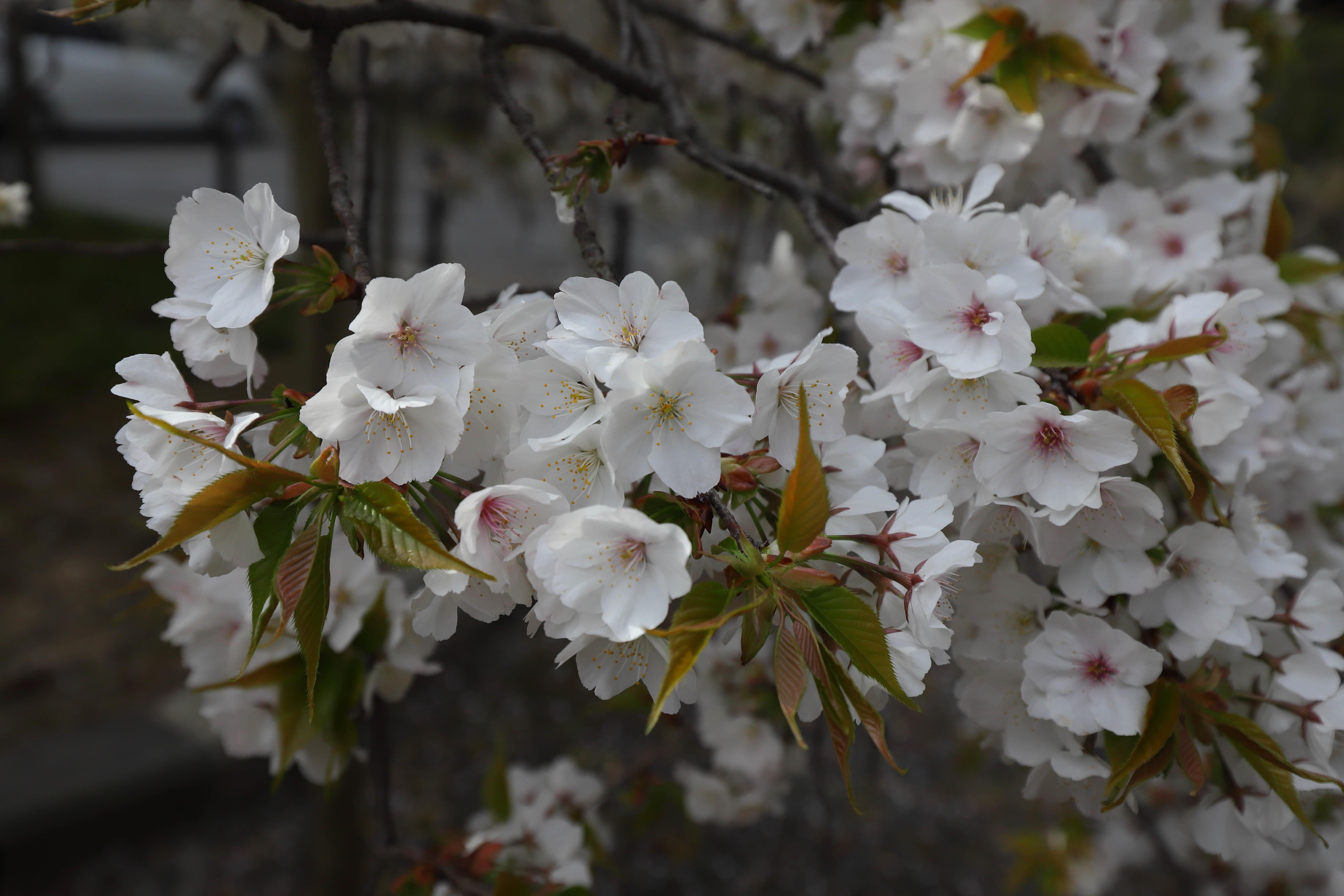 大原野桜7