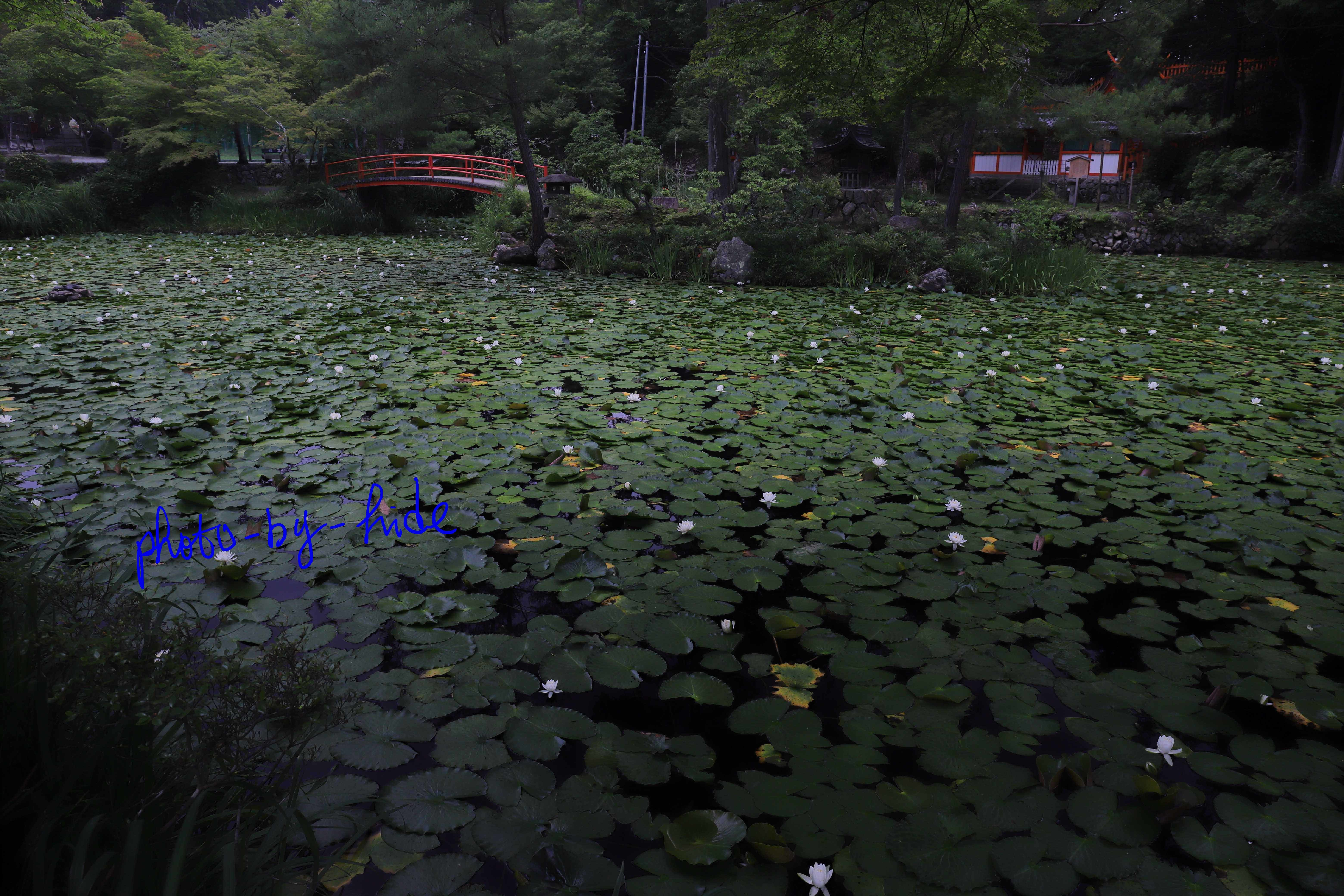 大原の神社睡蓮1