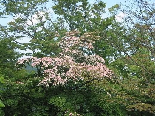 ピンク色のヤマボウシ