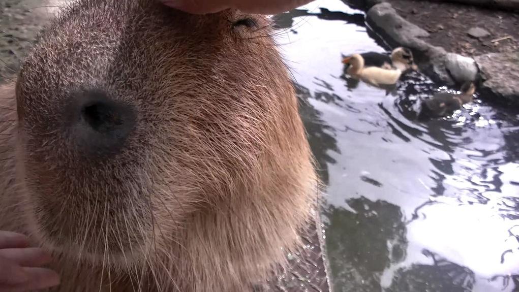 kapibara 001 mini
