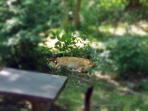 芍薬の上に寝てる犬
