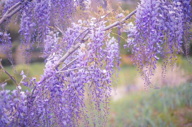 blossoming-wistaria-branch-spring-garden_113707-60.jpg