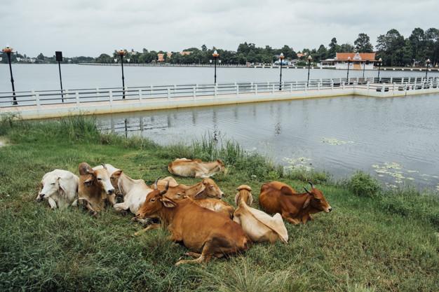 brown-cow-sit-side-pool_1150-11101.jpg