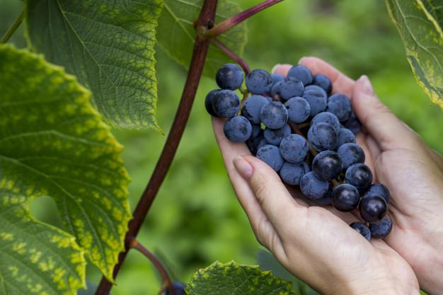 bunch-dark-grapes-close-up-hands-woman_75514-1023.jpg