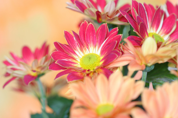 close-up-chrysanthemum-flower_87621-396.jpg