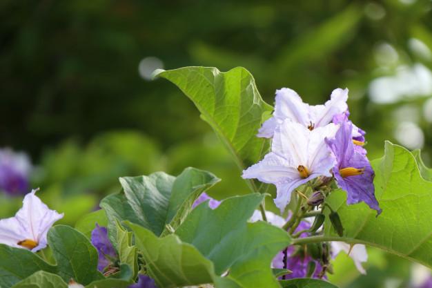 eggplant-flower_41338-5132.jpg