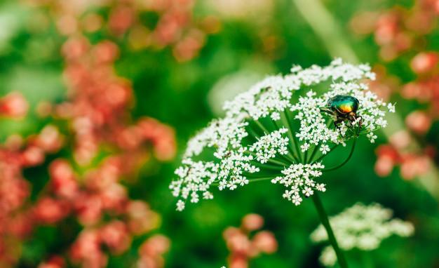 flower-chafer-green-shiny-beetle-cetonia-aurata-sitting-white-flower-summer_102894-152.jpg