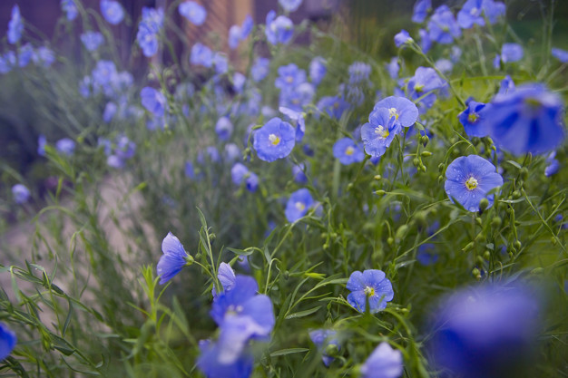 flowering-flax-morning-blue-flowers_107760-78.jpg