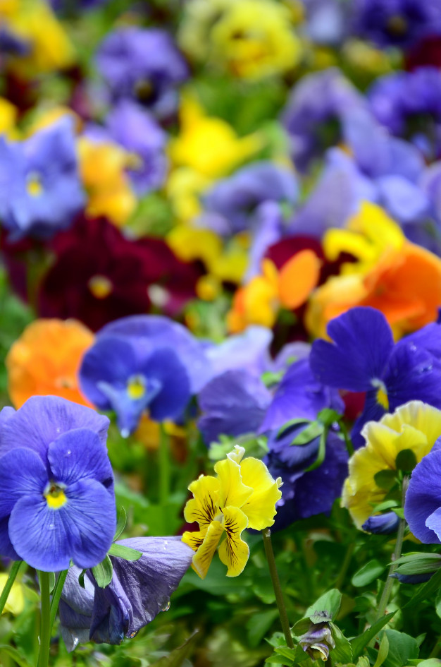 multicolor-pansy-flowers-pansies-close-up_76080-6247.jpg