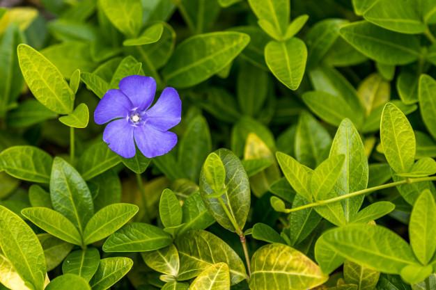 plant-flower-acanthaceae-blossom_109663-41.jpg
