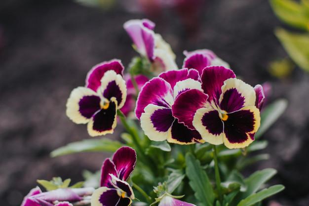 purple-pansies-garden_107760-77.jpg