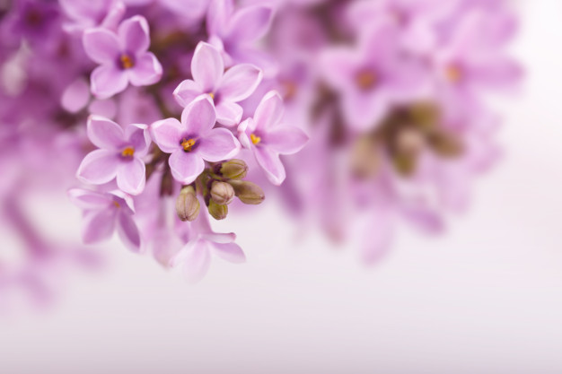 spring-lilac-flowers_67618-2249.jpg