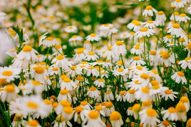 summer-with-beautiful-daisies-field-wam-sunlight_102894-148.jpg