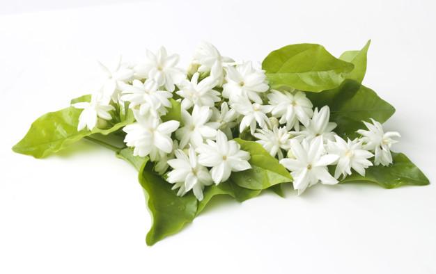 white-jasmine-flowers-fresh-flowers-natural_38679-1018.jpg