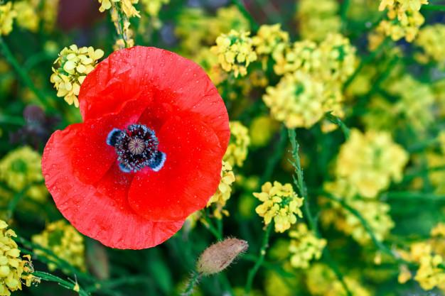 yellow-flowers-red-poppies-field_99293-157.jpg