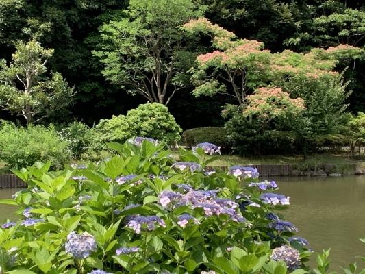 水辺公園 紫陽花2
