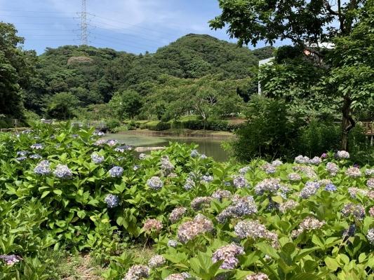 水辺公園 紫陽花1