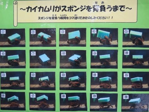 大洗水族館 カイカムリ