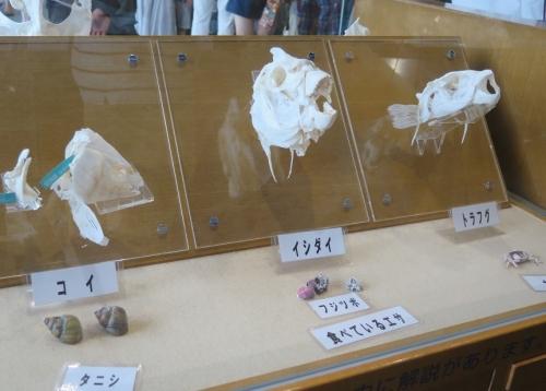 大洗水族館 コイ、イシダイ、トラフグの頭骨
