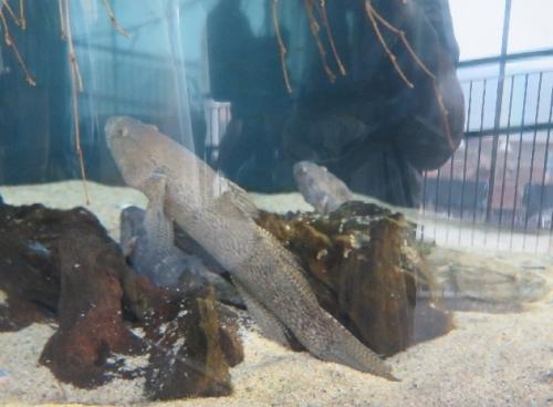 大洗水族館 カワアナゴとハゼ