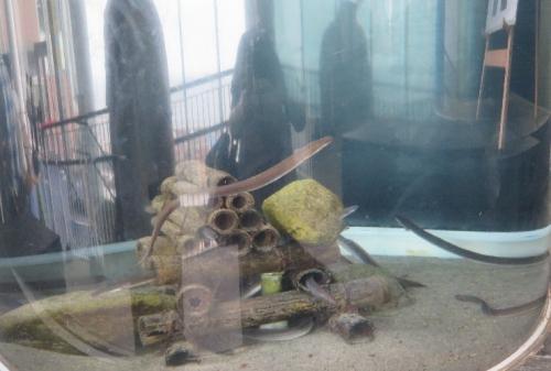大洗水族館 ニホンウナギ