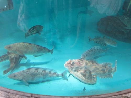 大洗水族館 コトヒキ、ヒメコトヒキ、ハオコゼ