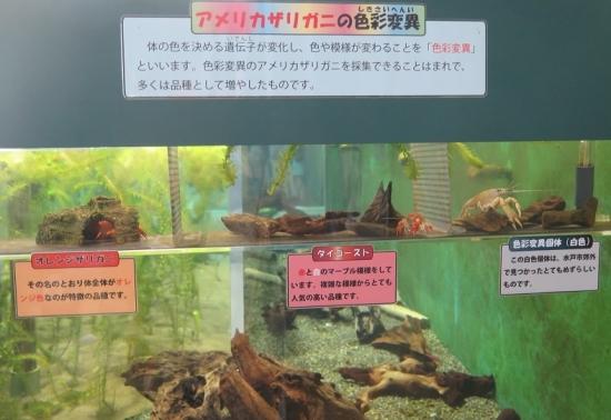 大洗水族館 アメリカザリガニの色彩変異