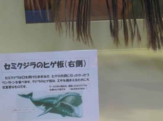 大洗水族館 セミクジラのヒゲ